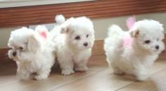 ❤️Maltese Dogs