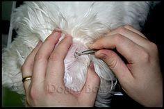 Maltese Ear Grooming