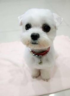 Maltese shaved ears short cut