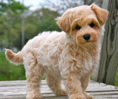 Maltipoo. a maltese and a