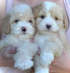 #maltipoo #dogs #cute