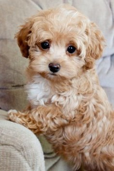 Maltipoo puppy ~ popular cross between a Maltese and Poodle, known for fun-loving and affectionate