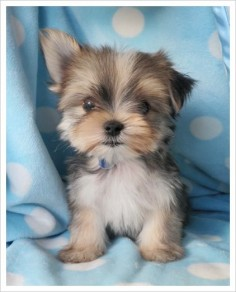 Maltise Yorkie #adorable #cute #topanimals