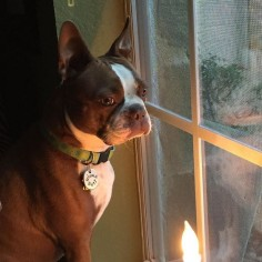 Mama says I look good in the candlelight!!! I just want to know why she went running with another dog??? #btcult #bostonterriers #btlove #bostonlove #bostonterriersofinstagram #bostonparentsunited #bostonterrierclub #bostonterrieroverload #ilovemydog by sweet_olive_may