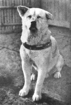"March 8, 1935: Death of Hachiko. Hachiko was an Akito dog adopted by a professor at the University of Tokyo, who became a symbol for steadfast loyalty when he continued to wait for his master at the train station every day -- for 9 years after the professor's death. Articles about the remarkable loyalty of the animal helped to repopularize the breed, which had dwindled to only 30 purebreds in Japan. His story is primarily known to Westerners through the 2009 Richard Gere movie, ""Hachi""."