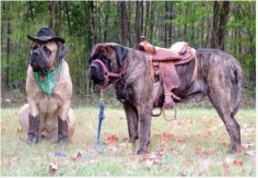 mastiff cowboy!! This could be the greatest pin of all!