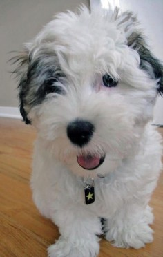 Max the Coton de Tulear
