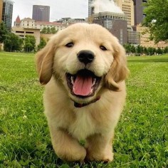 May 2016 be as Happy as this dog #welovegoldens by goldenretrievers_