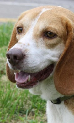 Meet Dottie, a Petfinder adoptable Beagle Dog | Pomeroy, OH | Dottie is a sweet beagle girl. She loves people and other dogs. She is around 2-3 years old