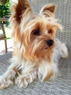 Meet MILEY, a Petfinder adoptable Yorkshire Terrier Yorkie Dog | Encino, CA | Meet Miley, a 3 year old,  lbs purebred Yorkie. Miley was adopted several months ago but