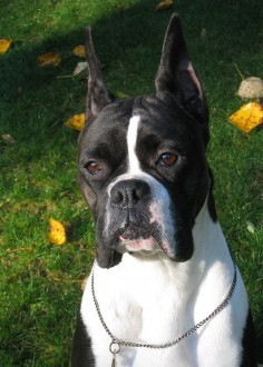 Meet Our Dogs - Everlast Boxers