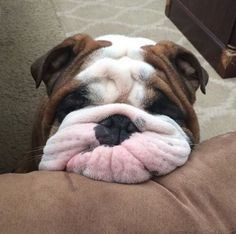 Meet Popeye the Bulldog!
