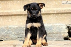Meet Willow a cute German Shepherd puppy for sale for $650. Willow - German Shepherd Female