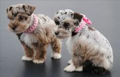 Merle Schnauzer Puppies Colorado | Miniature Schnauzer Puppies