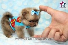 Micro Max - Micro Teacup Pomeranian Puppy