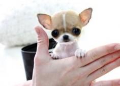 Micro Teacup Chihuahua