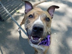 MIDNIGHT - A1078415 - - Manhattan TO BE DESTROYED 06/28/16 A volunteer writes: With a coat as soft as velvet, and markings like the finest wood grain, Midnight wags his tail at me as I unlatched his door. Easily leashed we're out the door where Midnight's first priority is going potty (a lot!). His leash manners are lovely and we chat as we head to the park. Wagging his tail at kids and all the people passing, he's easy and seems comfortable with a bit of