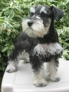 Mini Schnauzers ❤️ my favorite breed!!!!!!!