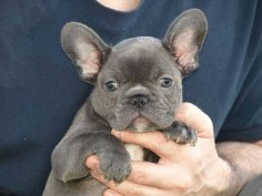 miniature blue french bulldog puppies for sale | Zoe Fans Blog