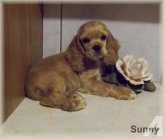 "Miniature Cocker Spaniel Puppies | Miniature Cocker Spaniel - SUNNY"" CKC Mini Cocker Spaniel Male Puppy ..."