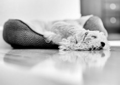 Miniature Schnauzer by PhotoDKM2