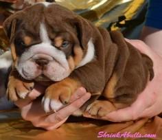 Miniature+English+Bulldogs | ENGLISH BULLDOG CARE