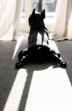 'Morning Yoga', French Bulldog.