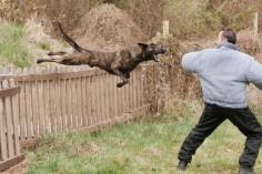 Most girls pin fluffy little white dogs. I pin this Dutch shepherd flying through the air doing bitework.