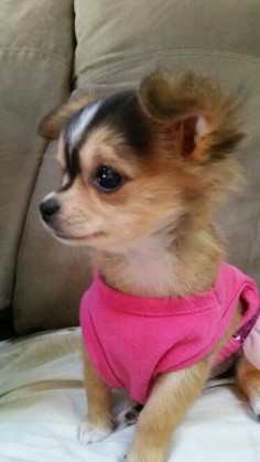 My baby girl koko. Precious chihuahua puppy! Love her so much Love Your Dog? Visit our website NOW!