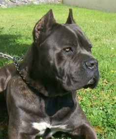 My dream. Cane corso.  Although iv got a presa canario which is close enough :)