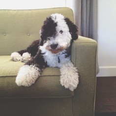 My future  sheepadoodle. Christmas can't come soon enough!