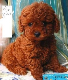 My little red toy poodle Soleil,looked just like this. I got her for my 30th birthday.