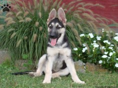 Naxwell, German Shepherd puppy for sale in Lititz, Pa