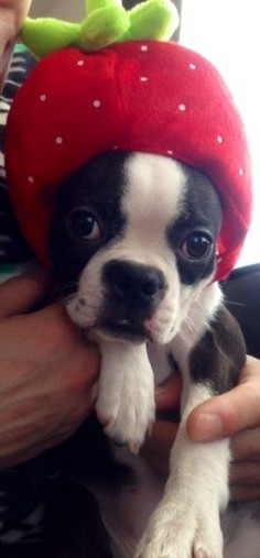 New | Boston Terrier Friendzy