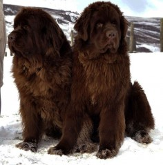 newfoundland! I want one