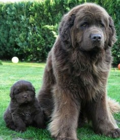 Newfoundlands! I want one!