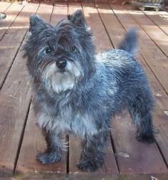 Nikki; Cairn Terrier