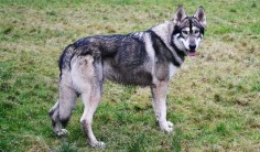 northern inuit dog - Google Search