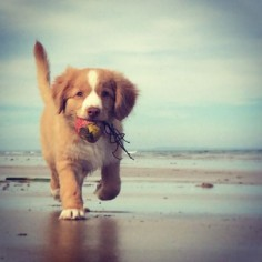 Nova Scotia Duck Tolling Retriever Puppy