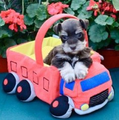 Oh I'm in Love look how darling is this puppy is, and what a darling face✨. Mini schnauzer*