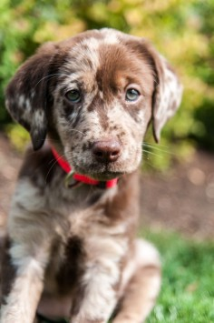 Oh my  and German Shorthair female puppy- I need this exact dog to be Sadie's little brother or sister.