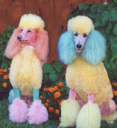 Oh ! Rainbow Poodles!