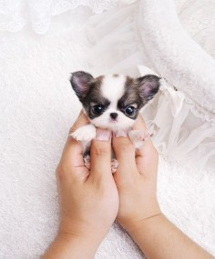 i know the whole teacup dog breeding is probably really unhealthy for the animals but i just love how small they are :)))