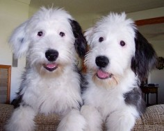 old english sheepdog puppy photos the old english sheepdog could be a ...