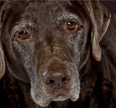 Older Labradors are still full of love.