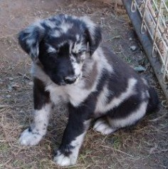 OMG I want him!!!!!!! Phantom is an adoptable Catahoula Leopard Dog Dog in Plum, PA. This is one of a litter of pups we had born here to a very young mom. Their mom, named Tiki was only 6 months old when she became
