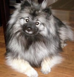 One day i will get another keeshond