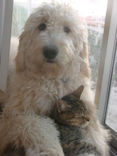 One of our Goldendoodles, Blue, with his kitty friend. Our Goldendoodles are renowned for their sweet teddy bear looks and dispositions.