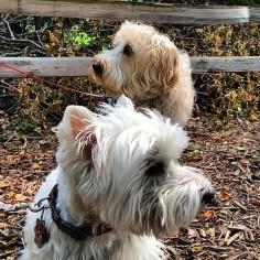 Opposite directions. #dog #dogs #westie #wheaten #wheatenterrier #terrier #terriers #westhighlandwhiteterrier #westy #wheatie #katanddog