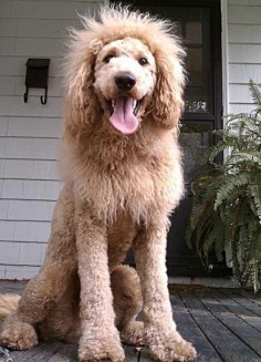 ….Or Lion | 21 Reasons Labradoodles Are Wonderful Oh, so doing this clip at some point. Hysterical!
